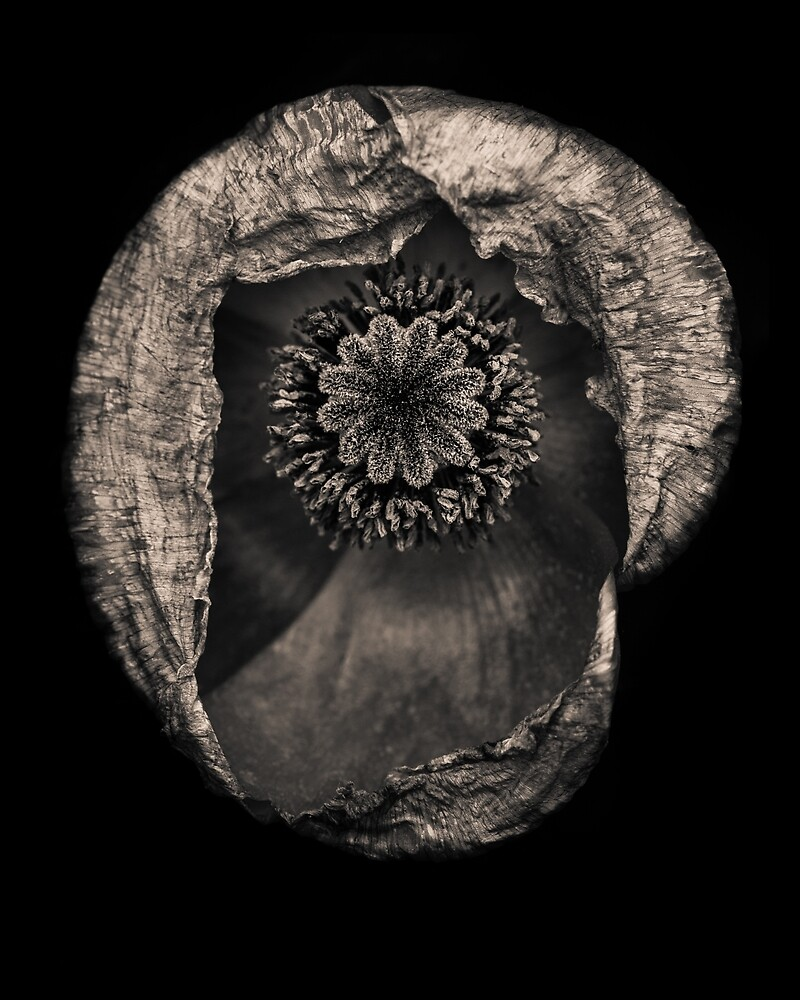 A Poppy in monochrome by alan shapiro
