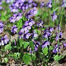 Forest violets spring primrose by mrivserg