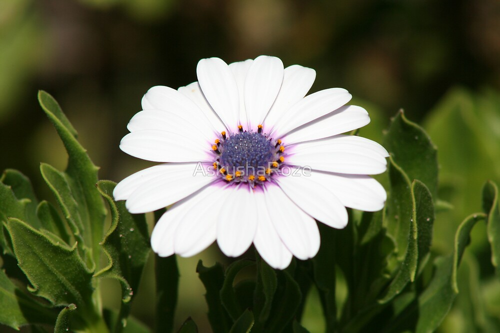 Daisy by Kylie  Metz