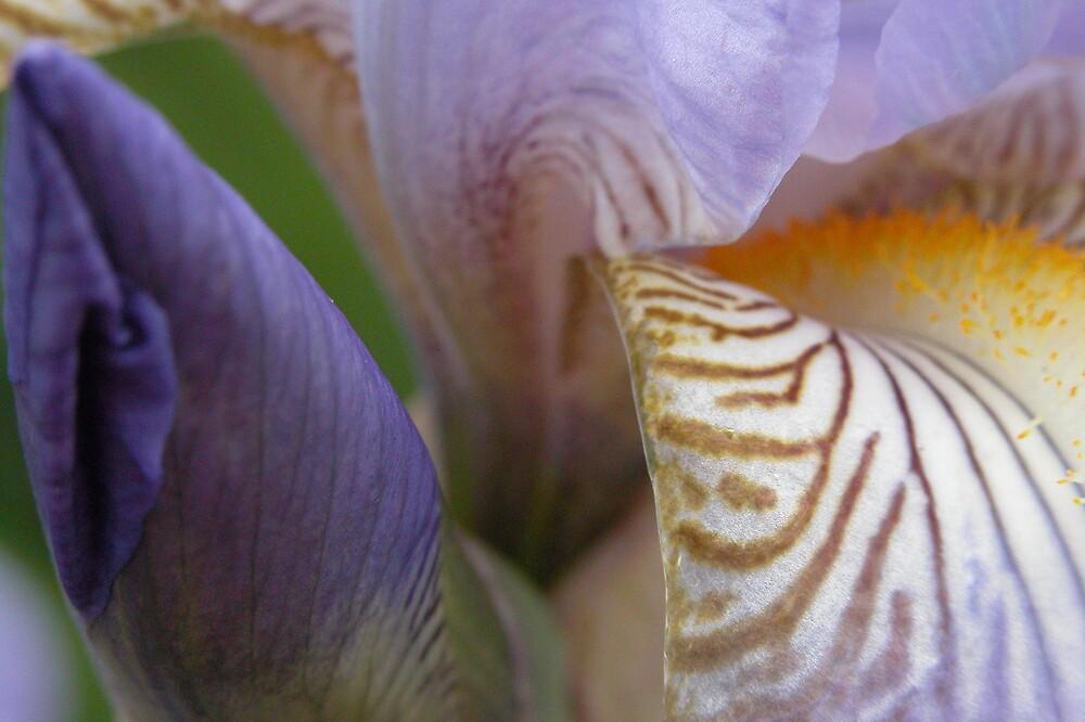 Iris with Bud by Linda Sass