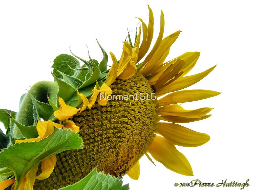 Sun Flower by Norman1616