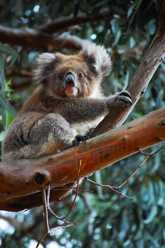 Cute Koala by jeremydwilliams