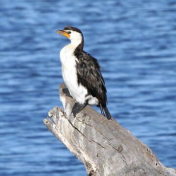 little pied cormorant - I HAVE pulled my tummy in. the truth is I'm vertically challenged  by shirleyscott