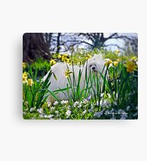 Snowdrop the Maltese & The Pretty Spring Flowers Canvas Print