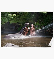 Two hippos playing with mouth wide open in water. Poster