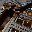 The Smithsonian's Natural History Museum - Fénykövi Elephant by Matsumoto
