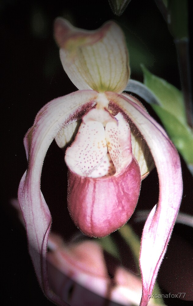 Pink Orchid by Vanessa Rooke