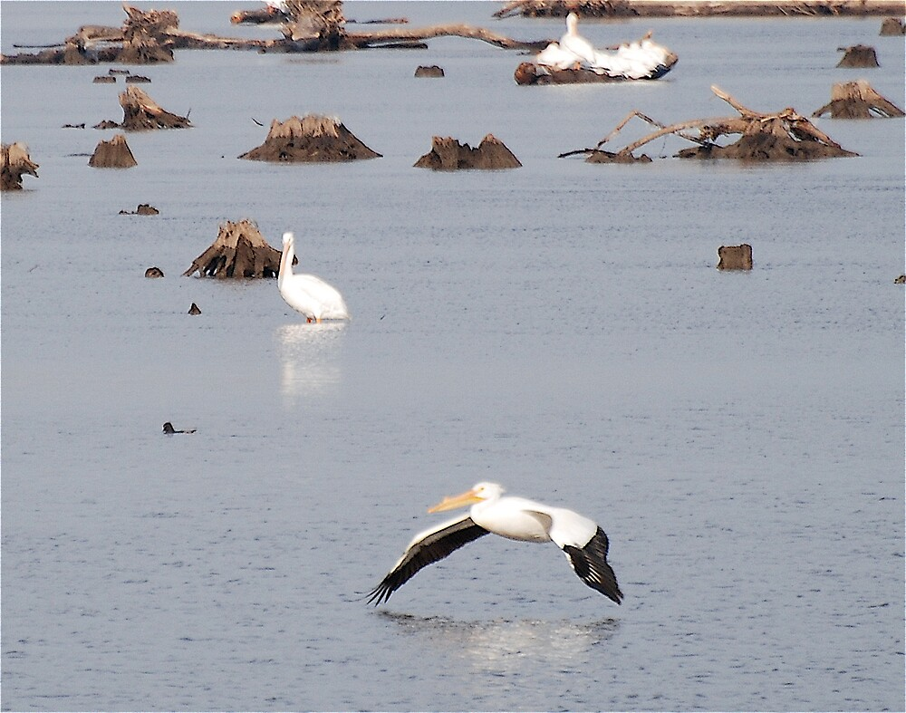 Pelican flying down river by Jim Caldwell