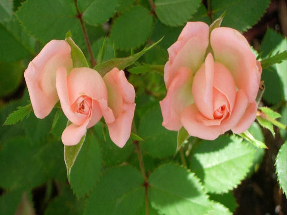 Delicately Pink by shadyuk