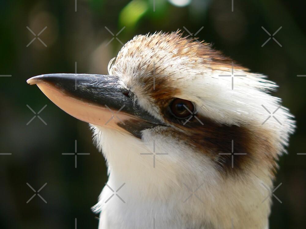 The kookaburra by kevint