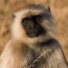 Langur Monkey by Steve Bulford
