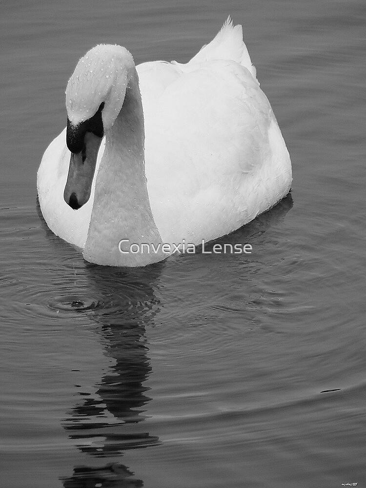Grey Swan by Convexia Lense