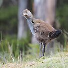 Native hen chick by Ron Co