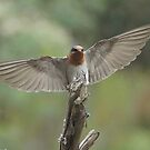 Welcome Swallow landing by Ron Co