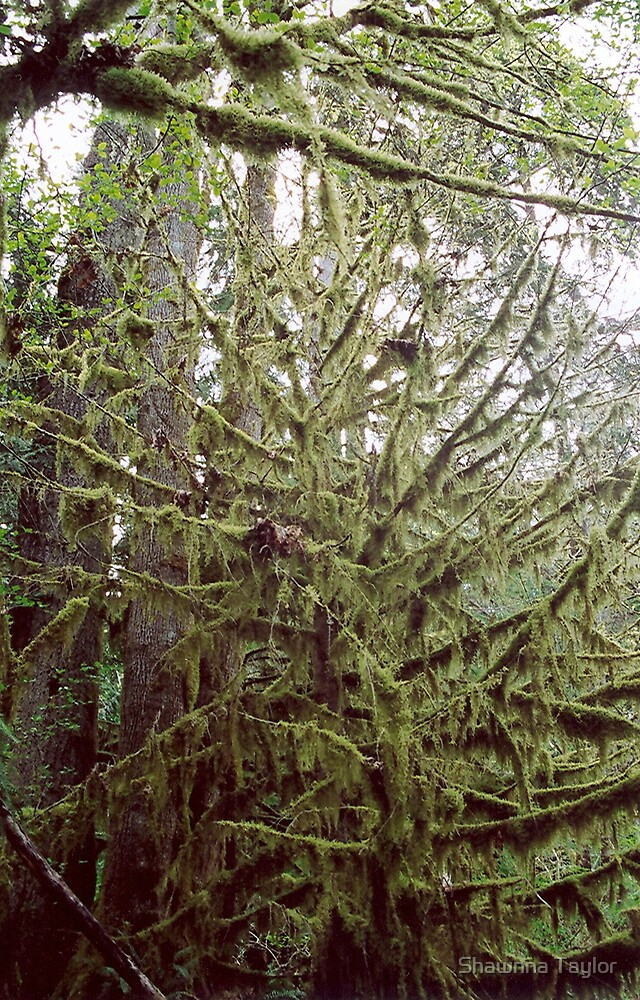 A Winter Day In A West Coast Forest by Shawnna Taylor