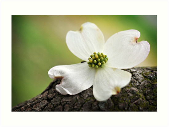 Dogwood by inlightimagery