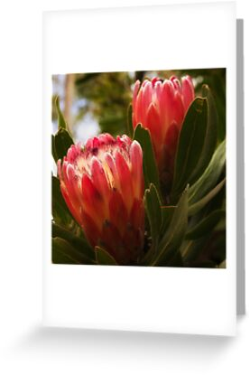 1059 Protea - Flower by Hans Kawitzki