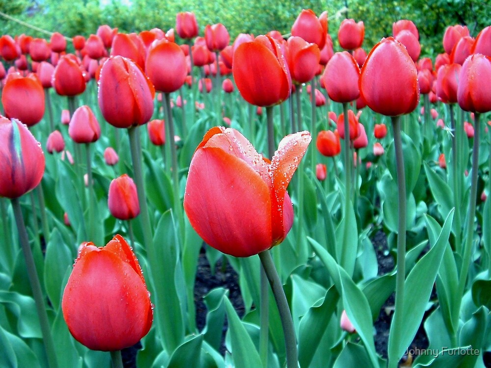 Pink Tulips by Johnny Furlotte