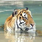 Tiger by Shannyn