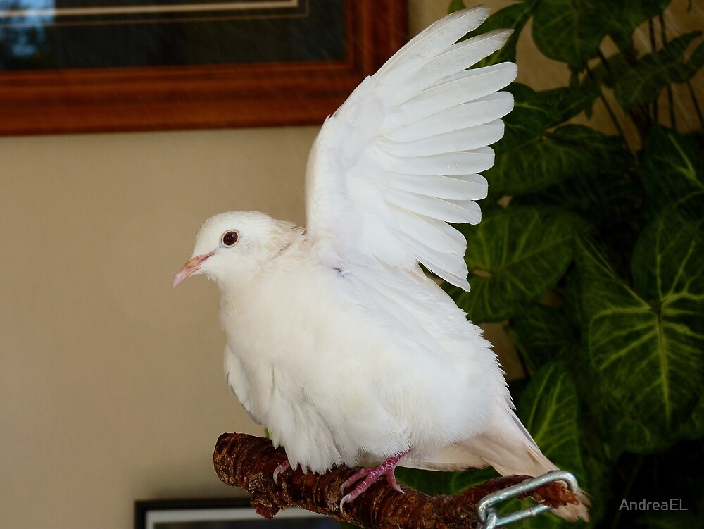 Quot Hands Up Spray The Armpit Too White Ringneck Dove