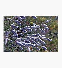 Salix Cinerea Photographic Print