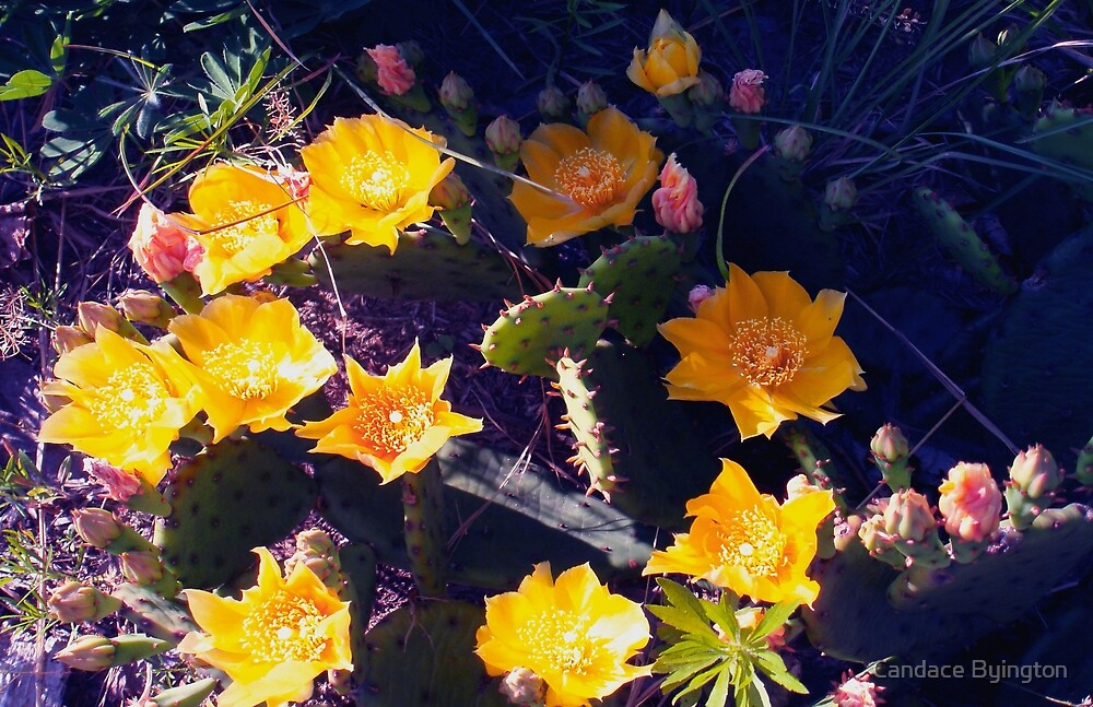 Succulent Yellow Blooming Prickly Pear  by Candace Byington