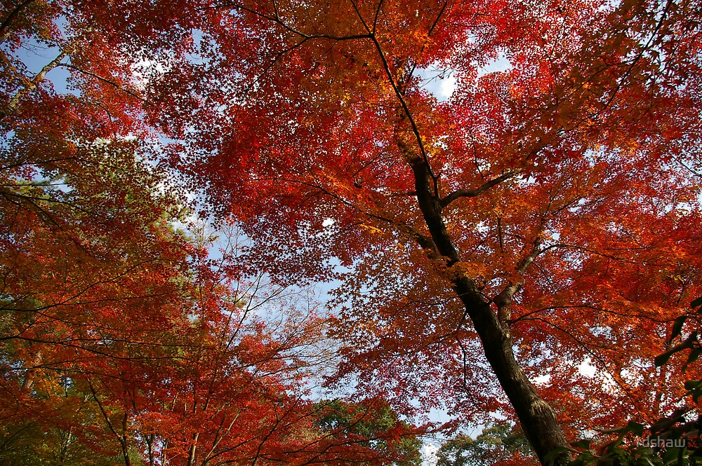 Japanese Maples by rdshaw