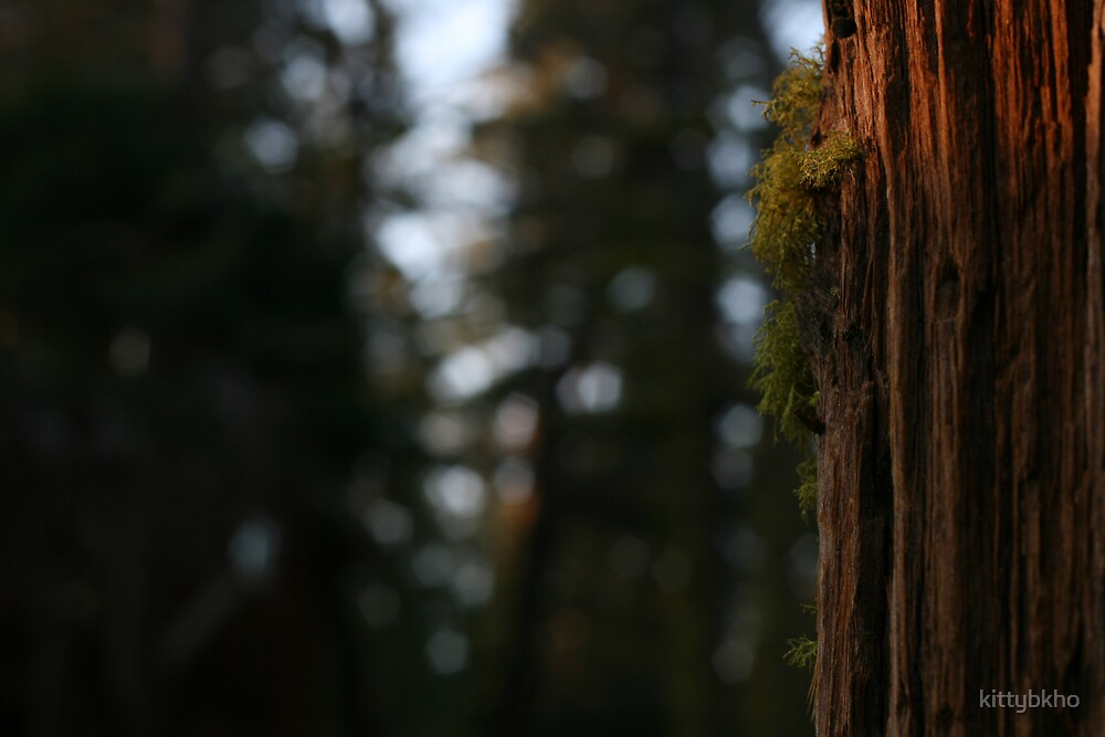 Redwood at Dusk by kittybkho