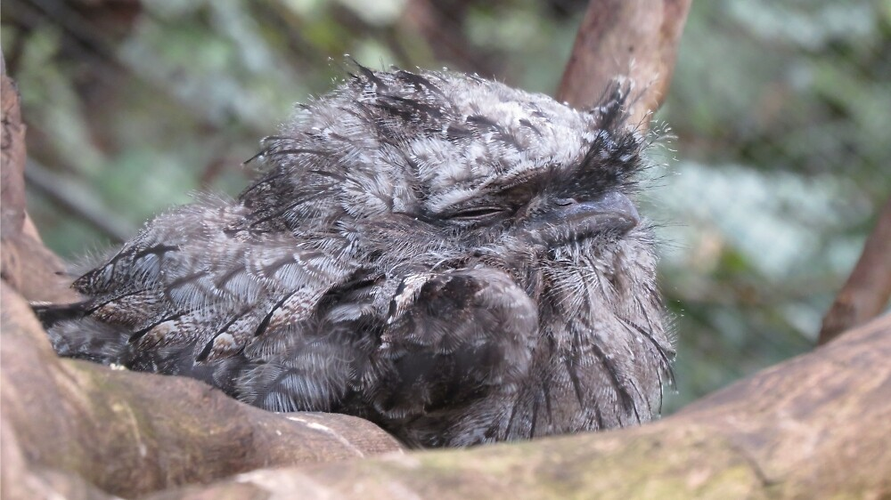 Sleeping Tawny Frogmouth by Sharon Brown