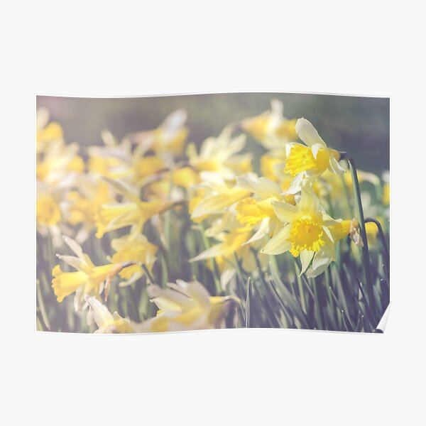 Daffodil storm Poster