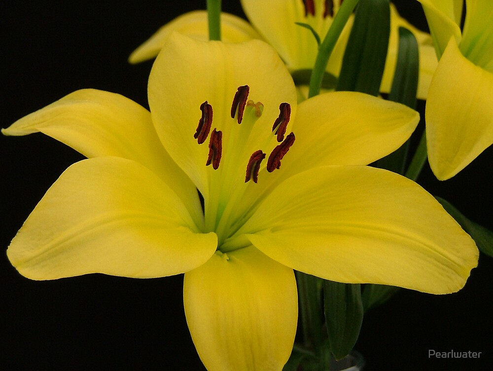Yellow Day Lily (lil104) by Chris Quinlan