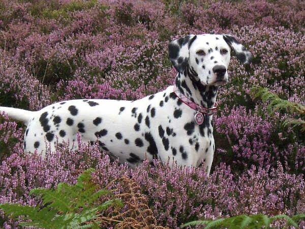 Lady Luka in the heather by SpottyDotty