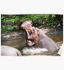 Two hippos playing with mouth wide open in the water. Poster