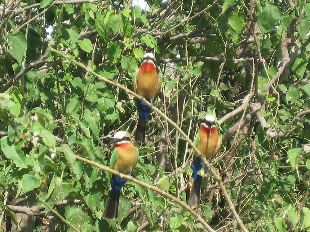 Bee Eaters in Botswana by noni3484