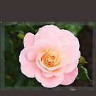 Beautiful pink rose in frame by gameover