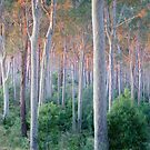 Sunrise Spotted Gum Forest Mystery Bay by Brett Thompson