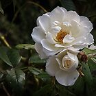 White Roses Leith Park Victoria 20170420 0082  by Fred Mitchell