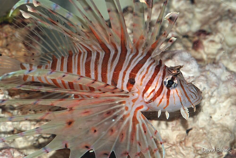 Lion Fish by David Beard