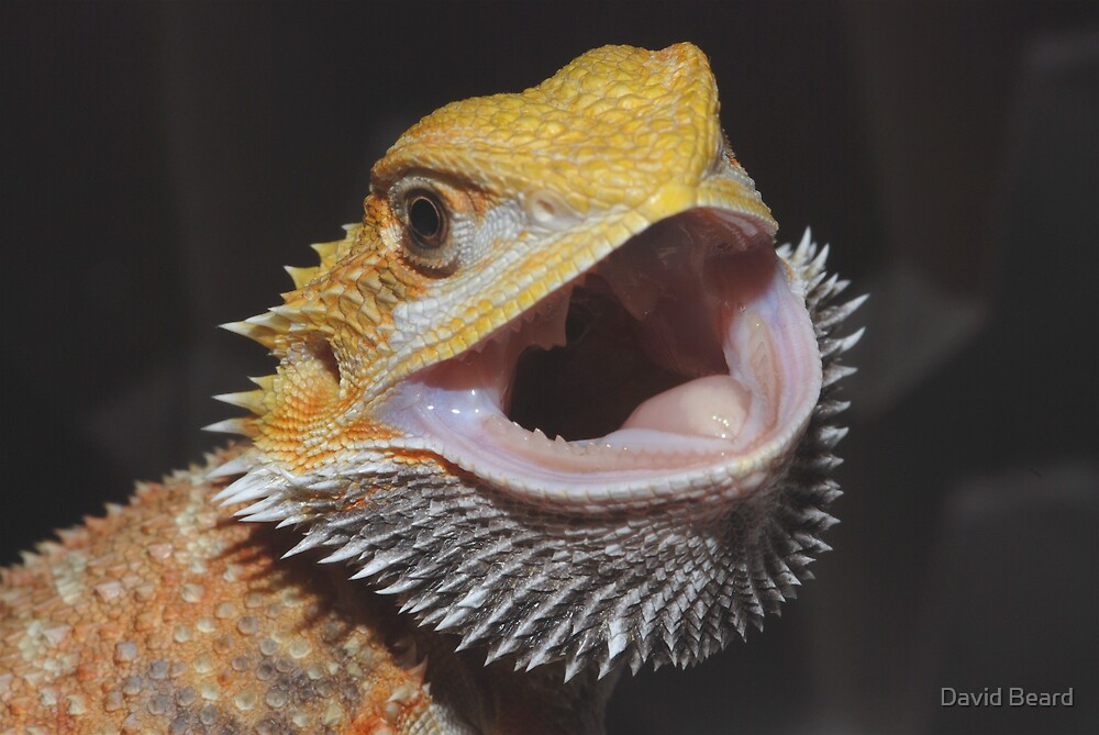 Bearded Dragon Gaping by David Beard