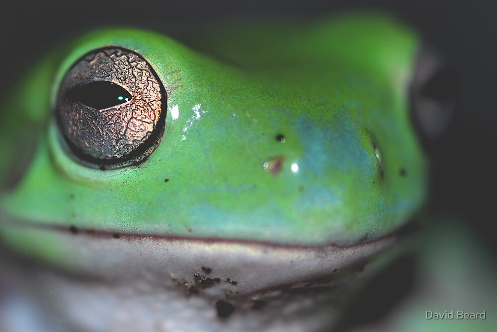 Dumpy Tree Frog by David Beard