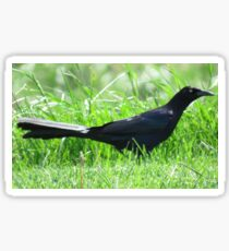 Grackle Sticker