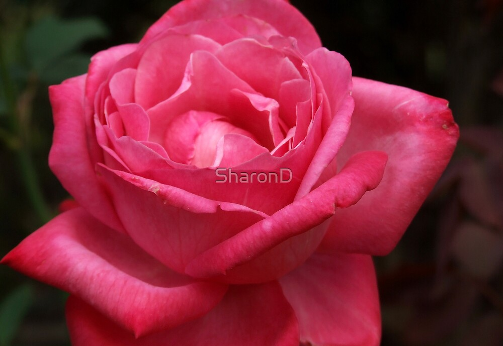 Simple Rose by SharonD