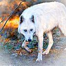 Artic Wolf by Deri Dority