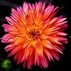 Dahlia Burst by Linda Bianic