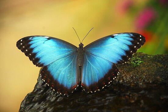 Blue Butterfly... by Billlee
