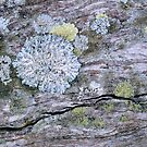 Wood Lichen by Brett Thompson