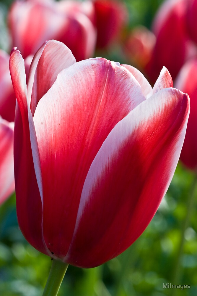 Red Tulip by MiImages