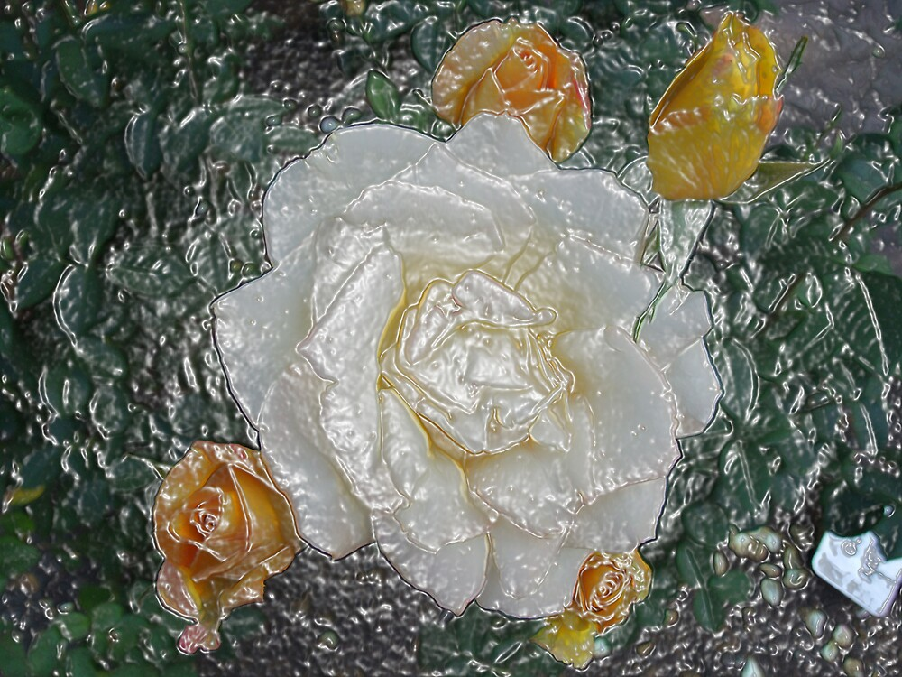Rose White Yellow by AnnM