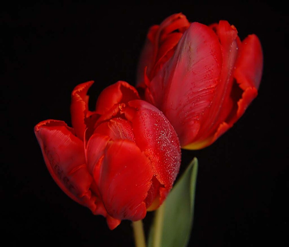 Parrot Tulip by terrylazar