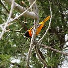 Baltimore Oriole  by caybeach